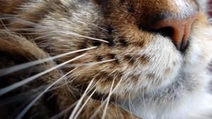 ¿cuatos bigotes tiene mi gato?