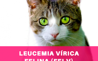 Enfermedades: leucemia vírica felina (Felv)