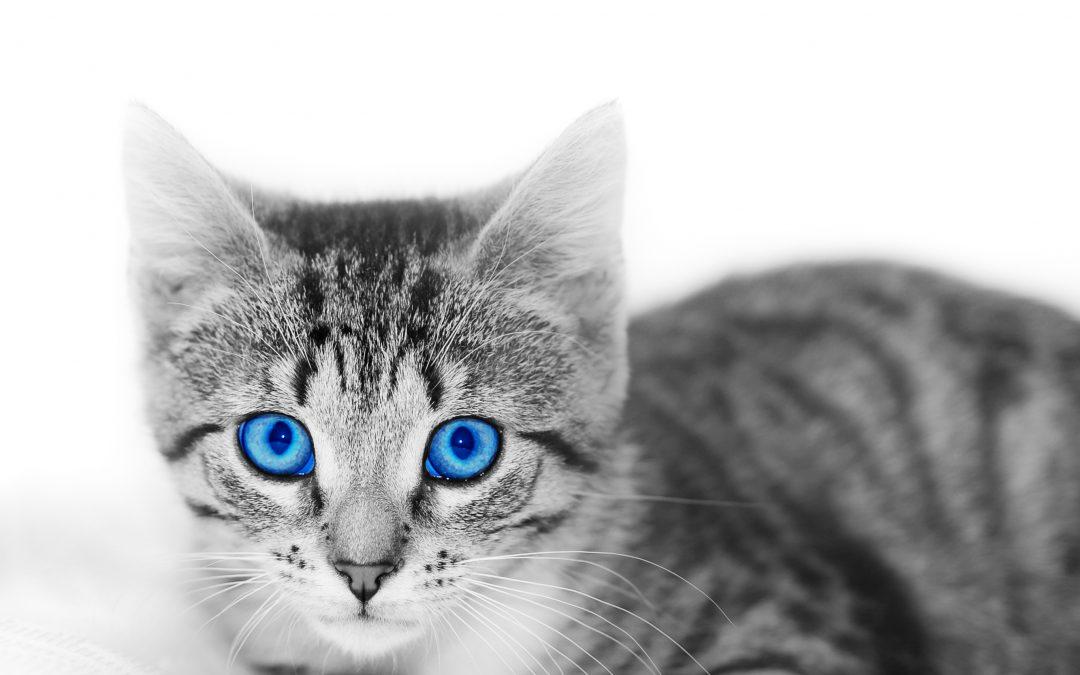 El gato diabético: lo que debes saber (un pequeño resumen)