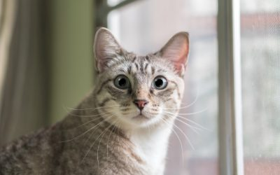 ¡Cuidado con las pulgas! ¡Pueden crear alergias en tu gato!