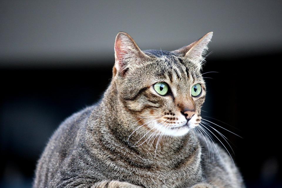Un gato obeso no es un gato feliz