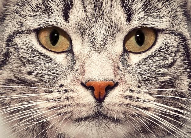 3 alergias comunes en los gatos